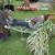 Tradicionalna kukuruzijada u Čepinskim Martincima