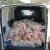 Čak 10 sati vozio 33 zaklane svinje u kombiju bez hlađenja