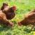 U Gorskom kotaru uskoro najveća farma nesilica u slobodnom načinu držanja