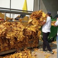 Prednost strojne berbe je brzina, ali ručna berba duhana daje kvalitetniji proizvod