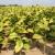 Liberalizacijom proizvodnje do zaustavljanja pada broja proizvođača duhana