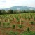 Za podizanje zasada vinove loze do 80 miliona dinara