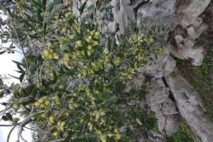 Šoltansko maslinovo ulje na službenom putu u - ljekarne
