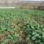 Vreme je za suzbijanje korova u uljanoj repici