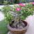 Njega pustinjske ruže - biljke krupnih i jarkih cvjetova
