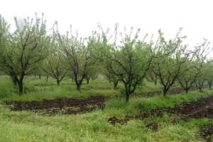 Oblačno vreme, ali od srede razvedravanje - sačuvajte voće od štetočina
