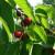 Rod trešnje podbacio za oko 30 odsto, u nekim regionima i više