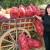 Sa 60 do 70 dinara za papriku - svi zadovoljni