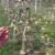 Proljetna gnojidba jabuke dušičnim gnojivima