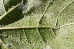 Napadnuto 90% hrastovih šuma! Eksperti zabrinuti zbog hrastove mrežaste stjenice