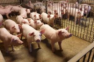 EU prognoza: Afrička svinjska kuga i dalje će uticati na globalno tržište mesa