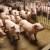 EU prognoza: Afrička svinjska kuga i dalje će utjecati na globalno tržište mesa