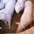 U prosincu zaklano 16 tisuća manje svinja nego godinu ranije