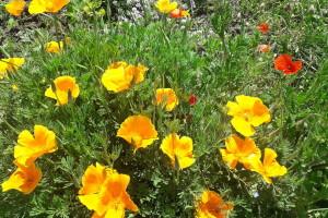 Samonikle biljke: Čuvaju zdravlje povrća i estetski obogaćuju vrt