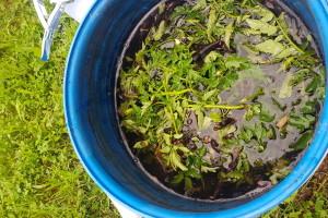Štitite povrće listovima paradajza, crvenim, bijelim lukom i korovskim vrstama