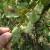 Hrastova mrežasta stjenica napada voćnjake, posebno ugrožene kruške