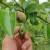 Čađava krastavost jabuka pravi probleme voćarima i ove godine, kvalitet prinosa upitan?