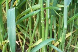 Pepelnica strnih žitarica: Vrijeme je za primjenu fungicida