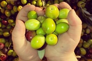 Revolucija u maslinarstvu: Uljar Beno Bajda proizvodi ulje uz pomoć ultrazvuka!