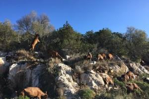 Počeli su s 10 koza, sad OPG Žampera proizvede 3.000 kolutova sira godišnje