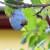 Bore se sa stenicom koja bi ovog leta mogla da uništi voće i povrće u Italiji