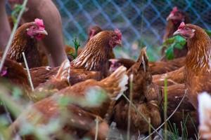 """Slobodan uzgoj i hrana koju sami proizvode """"tajna"""" su vrhunskih jaja s OPG-a Kokošinjac"""