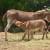 Farma domaćeg balkanskog magarca u srcu Šumadije