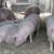 Trihineloza: Nije otkriven ni jedan slučaj zaraženošću u tri opštine, osim kod divlje svinje