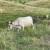 Krški pašnjak aktivirati za proizvodnju mesa i mlijeka, a ne za pošumljavanje alepskim borom