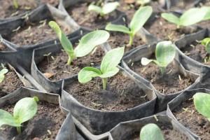 Uzgoj tikvica: Sjetva presadnica u travnju za raniju berbu