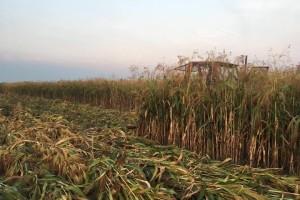 Janko Durgala: Sirak metlaš donosi solidnu zaradu