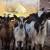 Od jedne koze do zavidnog OPG-a, Danica Mičić daleko od gradske vreve stvorila raj na zemlji