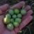 Buhavica - autohtona maslina otoka Brača gdje se uzgaja već 300 godina
