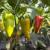 I pored velikog potencijala, domaća proizvodnja paprike nije konkurentna: Koji su razlozi?