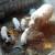 Turopoljske svinje Emanuela Starčevića preživjele prošlogodišnje kolinje