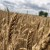 Žetva u punom jeku, otkupna cijene pšenice od 0,90 kn/kg?