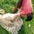 Nakon šišanja ne bacajte ovčiju vunu - iskoristite je za malčiranje