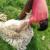 Nakon šišanja ne bacajte ovčju vunu - iskoristite ju za malčiranje