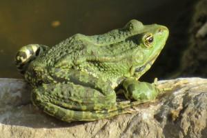 Žabe su najbolji insekticid u bašti - kako ih privući