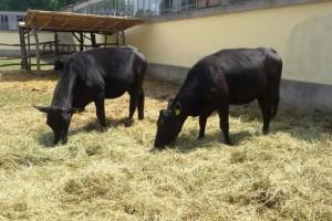 """Kompanija """"Đurđević"""": Angus iz Irske za bolji kvalitet mesa u Srbiji"""