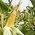 Duo® System: Najučinkovitije suzbijanje divljeg sirka u hibridima kukuruza!