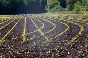 Preporuka ratarima USK: Kukuruz u najkritičnijem stanju, treba folijarnu prihranu