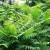 Kreće uklanjanje invazivne strane vrste stabala Ailanthus altissima - pajasen
