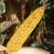 AJOWAN - novi vrhunski rani RWA hibrid na OPG-u Čižmešija Tomislav ostvario 14,6 t/ha suhog zrna