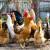 Kako kod peradi spriječiti ptičju gripu i njezino širenje?