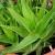 """Aloe vera - """"blistajući"""" primjerak iz pustinja na našim prozorima"""