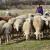 On ima 9 godina i svu ušteđevinu ulaže u stado ovaca i koza