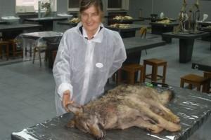 Ana Grgas: Odstrjelom divljih svinja nestat će i vukovi!