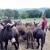 Ante Grizelj: Imam 102 magarca, proizvodim mlijeko i uživam u svom poslu