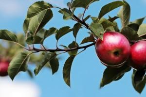 Vrijeme je za gnojidbu trajnih nasada - odaberite najbolja organska gnojiva